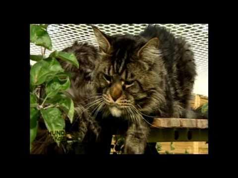 Folge 1 'Hund&Katz' ATV -  Sherokee´s Maine Coon Katzenzucht