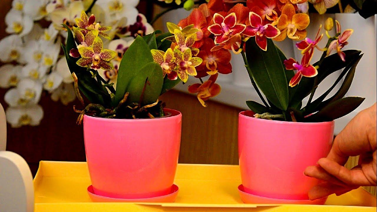 Как купить ПЯТЬ орхидей по цене ДВУХ. Смотрите и запоминайте СПОСОБ как это сделать!
