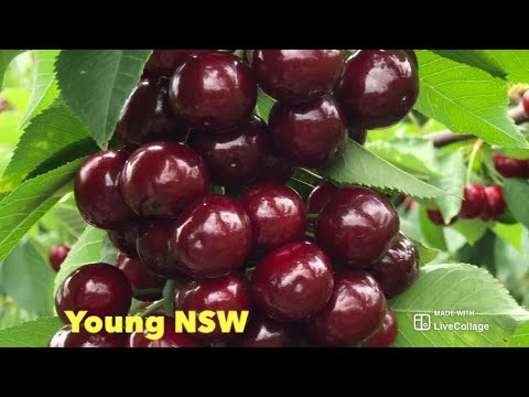 Cherry Picking | Young NSW | Youngest Cherry Picker JVN |