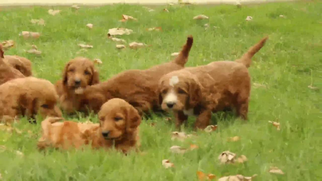 Irish Doodle Puppies For Sale Youtube