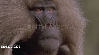 COLLECTIVE SOUL BABOON (RARE)