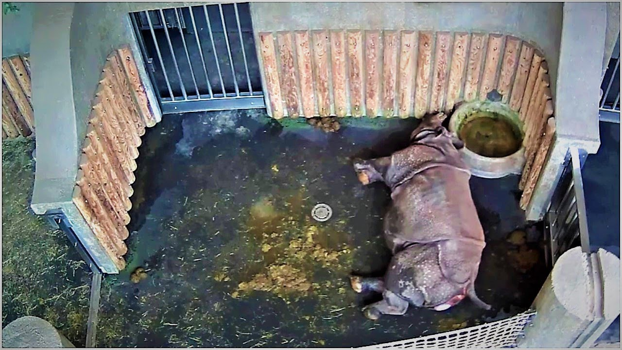 this-rhino-had-been-pregnant-for-492-days-then-a-camera-captured-a-moment-that-left-people-stunned