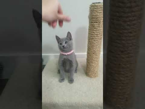 Assol. Russian Blue kitten