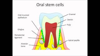 Progress, challenges, and potential applications of oral stem cells - video abstract 51009
