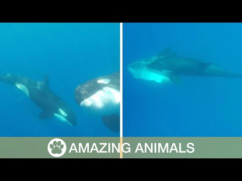 Orcas Play With Sunfish