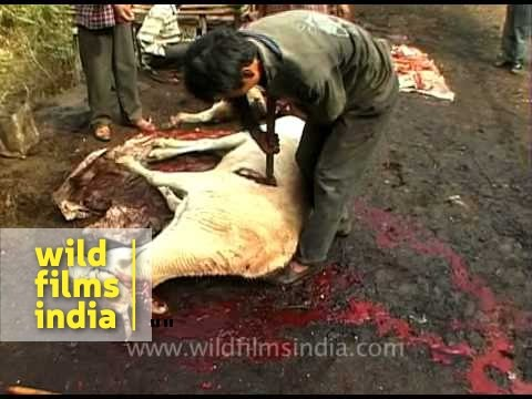 Inhumane slaughtering of a cow