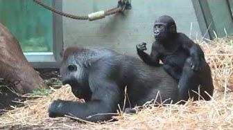 Gorillas spielen im Zoo Zürich - VideoZoo!