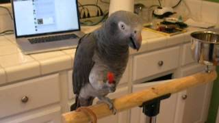 Do Chili Peppers Make Parrots Talk?