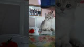 Продажа! Британский котик Том Ям. Голубая золотая шиншилла. 4 месяца.