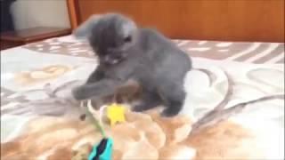 Красивый голубой дымчатый мальчик с милым характером. Британский котенок с документами.