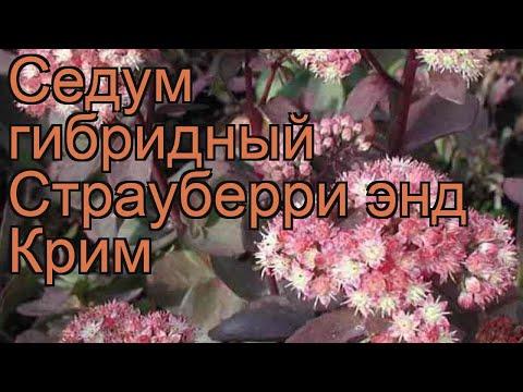 Седум гибридный Страуберри энд Крим 🌿 обзор: как сажать, рассада седума Страуберри энд Крим