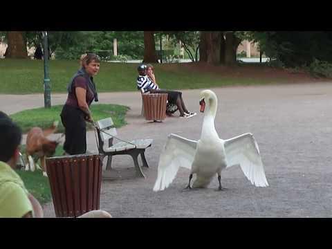 Dog vs Swan in Strasbourg