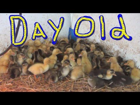 Duck Eggs Hatching… #90 Ducks For The Homeless