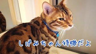 【旅行1日目】美人ペットシッターを玄関待機する雄猫達