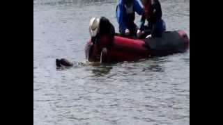 Newfoundland Dog Rescue Training Using Boat