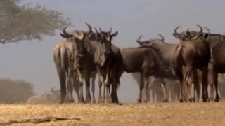 LA PELIGROSA MIGRACION ANIMAL   Africa Salvaje   DOCUMENTAL DE LEONES   Animales salvajes