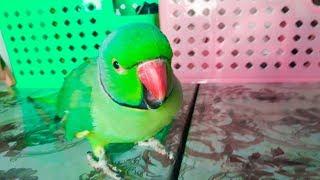 Cute Ringneck Parrot Talking