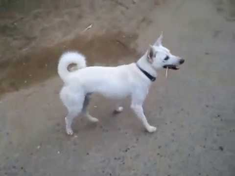Tommy-A white Dog
