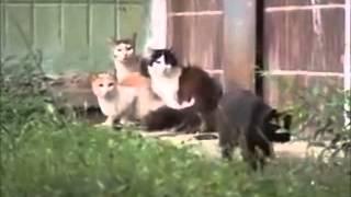 Крыса бросается на кошек