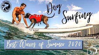 Dog Surfing Video made Headline News in Hawaii  Waikiki K9 Surf