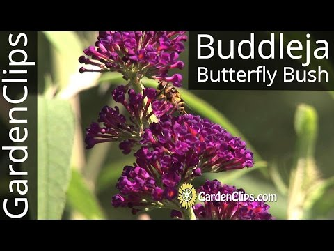 Buddleia - Buddleja - Butterfly Bush - How to grow Buddleja davidii