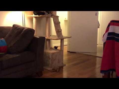 "Burmese Kitten:- playing fetch  ""Puppy Kitten"""