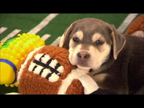 The penalties of 'Puppy Bowl'