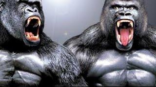 Biggest Gorillas in the World