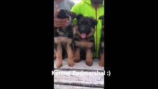Difference between Longcoat and shortcoat German Shepherd Puppies