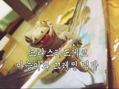 [벌러지닷컴] 도마뱀키우기-크리스티드게코 �