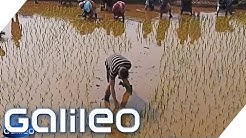 Der harte Job auf einer indischen Reisplantage   Galileo   ProSieben