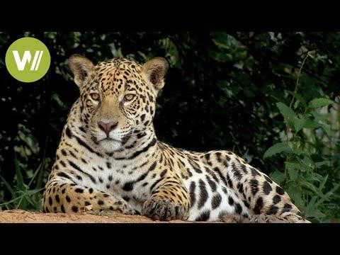 Secret Brazil: Jaguar, the king of the Pantanal | Animal documentary - Part 1/2
