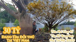 Siêu mai vàng cổ thụ giá 30 tỷ vô đối tại Việt Nam đẹp lung linh như thế nào 0978572579