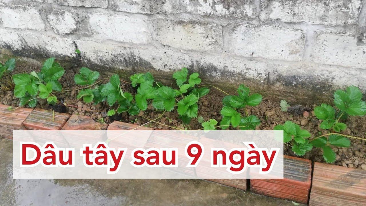 Luống dâu tây hana trồng tại nhà sau 9 ngày | Strawberries plants