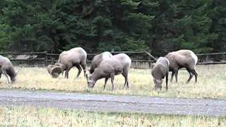 bighorn sheep at Petty Creek #2
