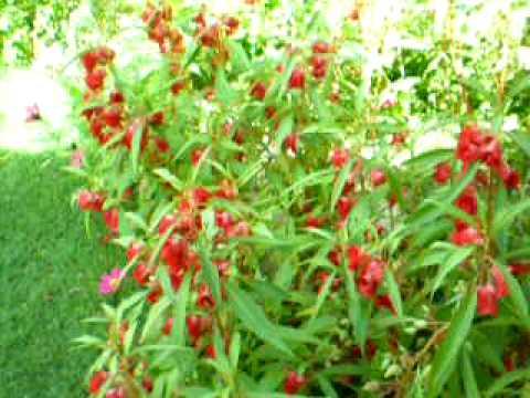 Impatiens Balsamina Linn(Pokok Keembung Merah)