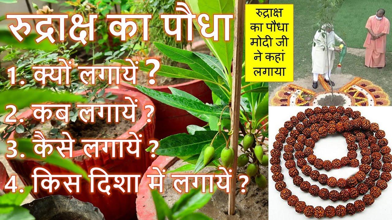 रुद्राक्ष का पौधा कैसे किस दिशा में लगाए- रुद्राक्ष का पौधा कैसा होता है How to grow Rudraksha Plant
