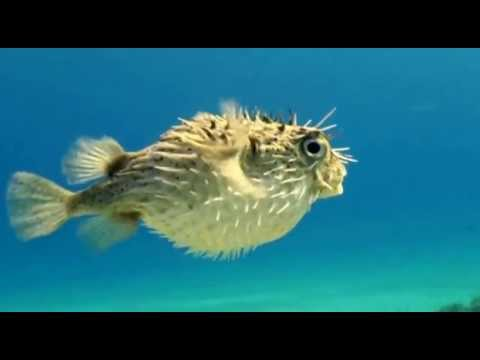 Alarmed puffer fish swimming wiggling away youtube for Fish swimming video
