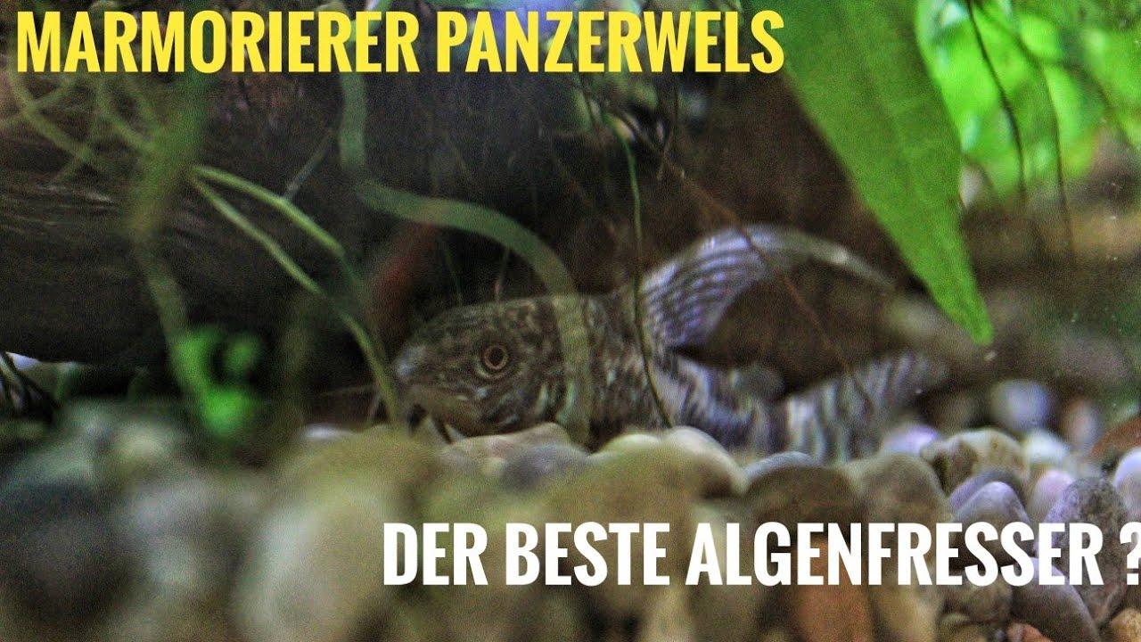Download Marmorierter Panzerwels   Guter Algenfresser?   4K   Deutsch 