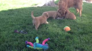 Golden Retriever Puppies Playing Tug Of War With Mama