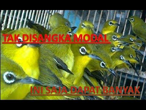 Kompilasi Suara Burung Untuk Mikat Ampuh