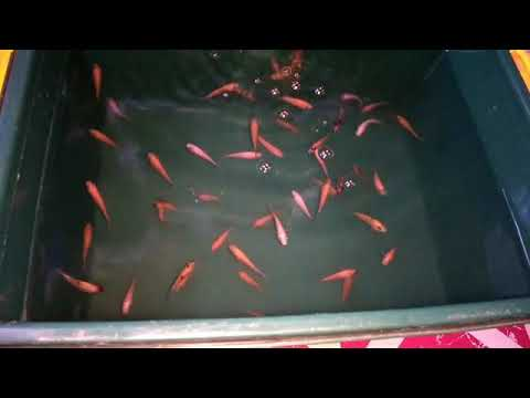 BUDIDAYA IKAN NILA DI EMBER PLASTIK • Memelihara Ikan Nila ...