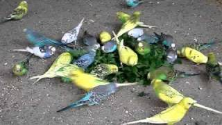 Budgies attack on Dandelion