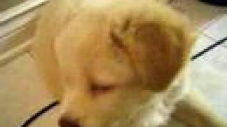 Golden Retriever Husky Mix Puppy
