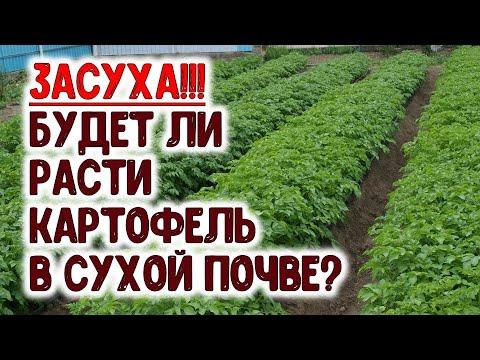 Вопрос: Может ли рано посаженный картофель сгнить в земле, а не взойти?