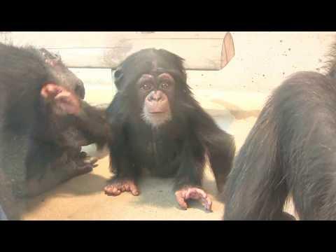 チンパンジー 双子の赤ちゃん 85 Chimpanzee twin baby
