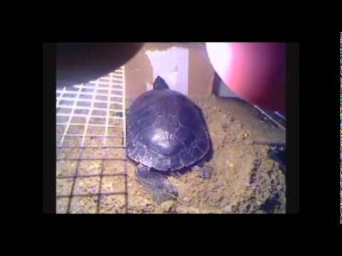 Trachemys scripta elegans / Red Eared Slider Turtles