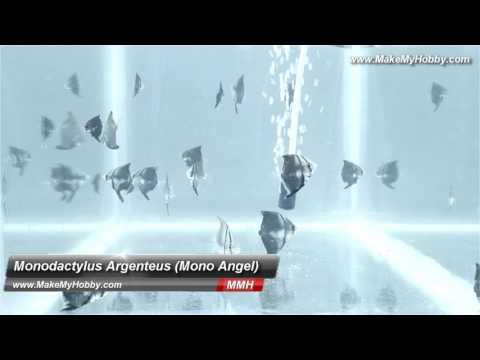 Monodactylus Argenteus (Mono Angelfish) At MakeMyHobby.com Reviews