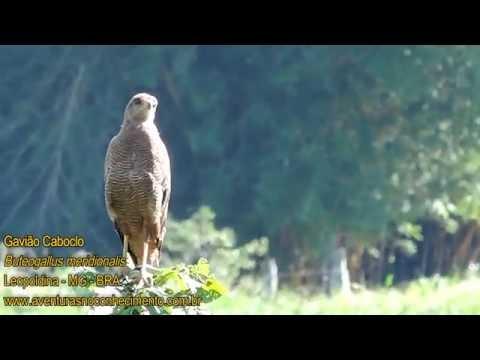 Gavião caboclo (Buteogallus meridionalis) - AVES - BIOLOGIA