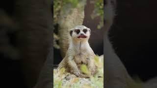 Kürtçe  maymun  kürtce